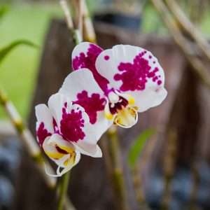 Orchid1sm